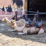 Верблюжий парк (camel park)