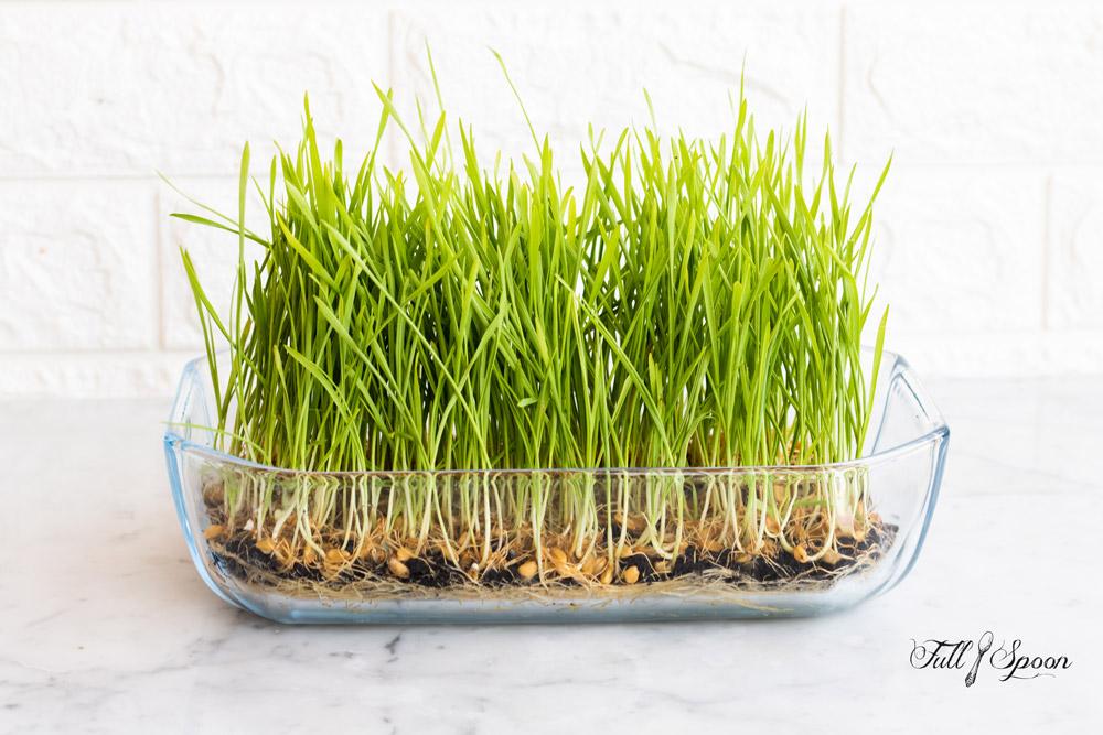 польза ростков пшеницы